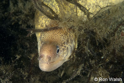 seive-patterned-moray.jpg