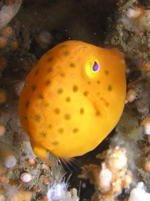shiprcok-yellow-boxfish.jpg