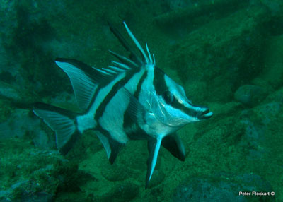 boarfish-on-the-henry-bolte.jpg
